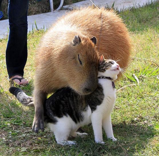 капибара и котик